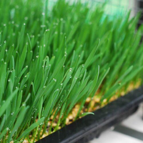 Wheatgrass in tray
