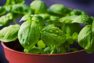 in this week's harvest-Basil