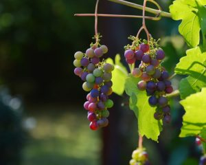 this week's harvest-Grapes