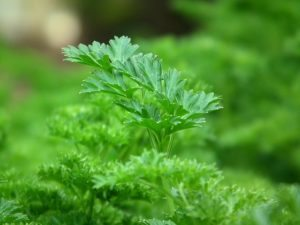 In this week's harvest - Parsley