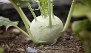 this week's harvest-Kohlrabi