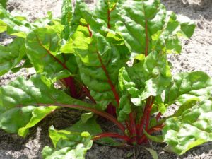 this week's harvest-swiss chard