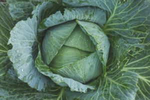 in this week's harvest cabbage