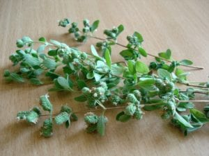 this week's harvest-oregano