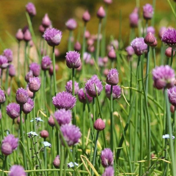 chives-flowers