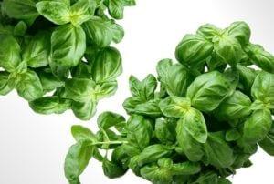 dehydrating herbs basil