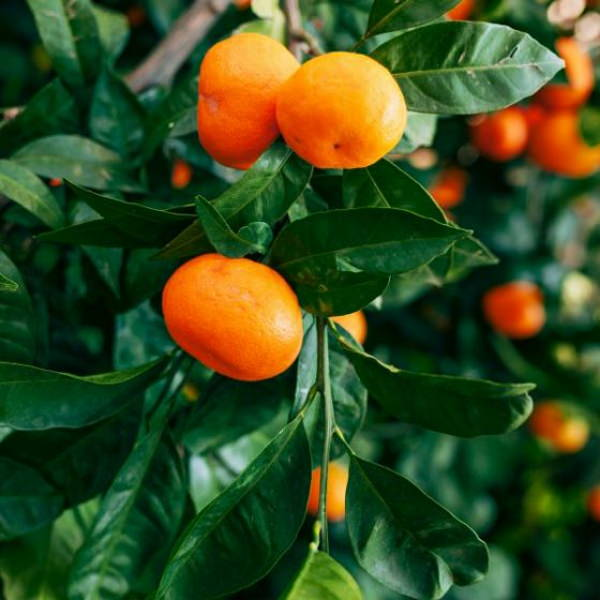 tango-mandarins