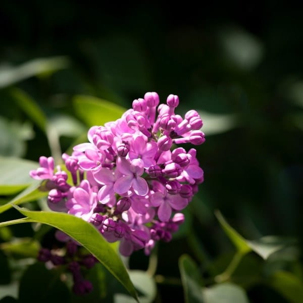 edible flowers Lilac