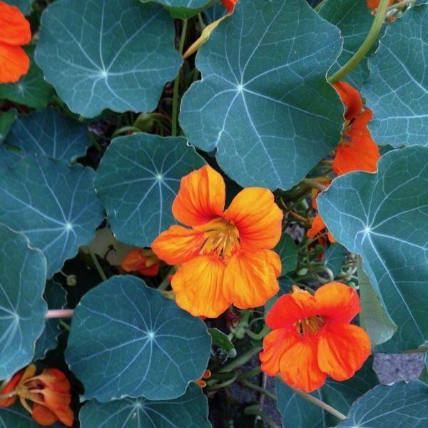 edible flowers Nasturtium