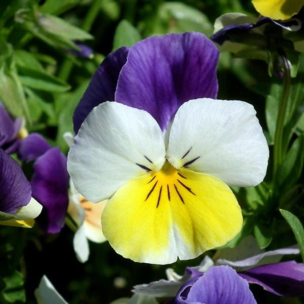 edible flowers Pansies and Violets