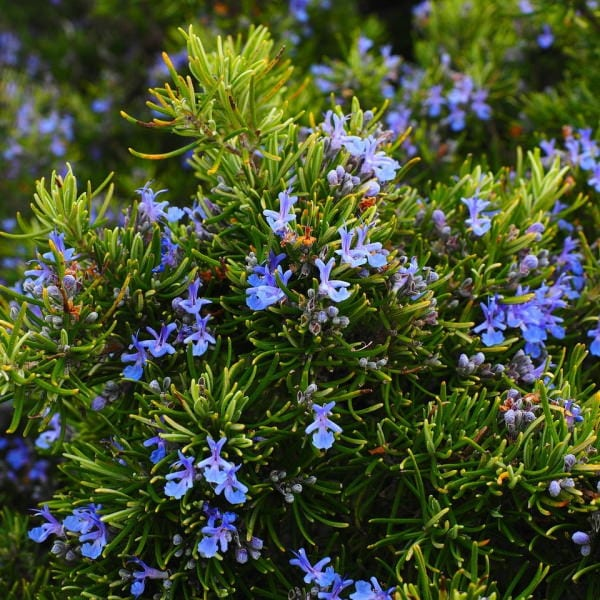 edible flowers Rosemary