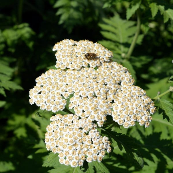 edible flowers Yarrow