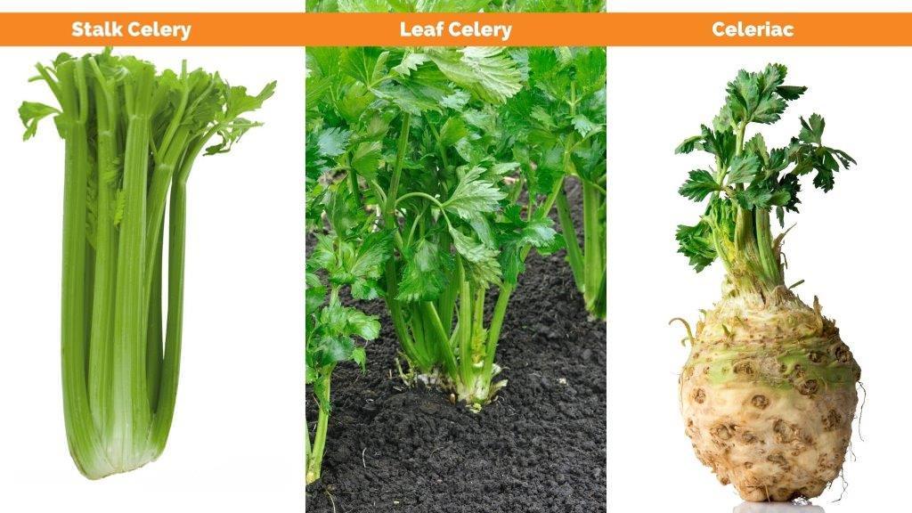organic celery types