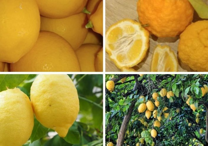 fresh organic lemons
